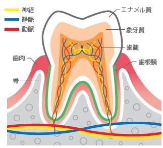 歯の構造と神経